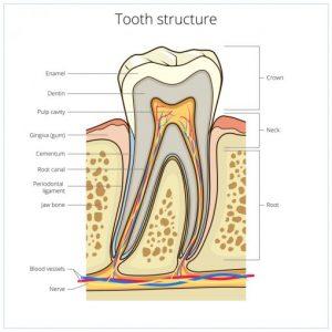 Kiekvienas dantis turi vieną ar daugiau šaknų ir centrinę pulpos ertmę.